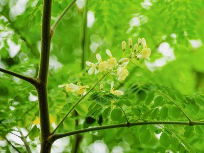 moringa olifera